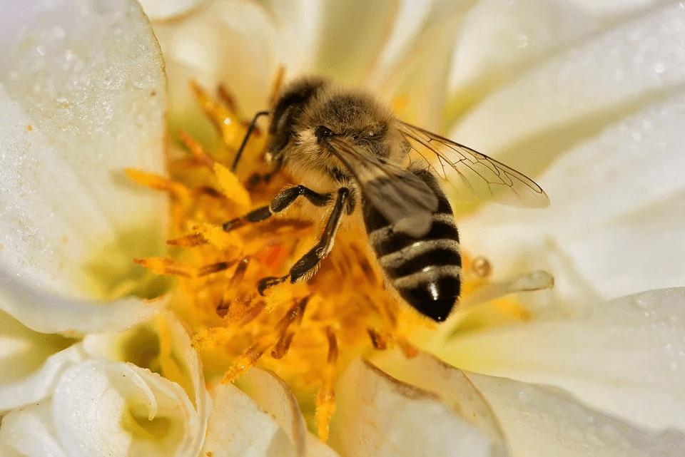 Bal arısı zəhərinin süd vəzisi xərçəngi hüceyrələrini məhv etdiyi aşkarlanıb