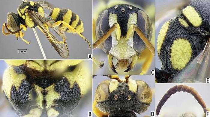 Naxçıvan faunasında dünya elmi üçün yeni arı növü aşkarlanıb