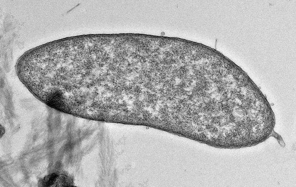 Xalis mis istehsal edən bakteriya tapılıb
