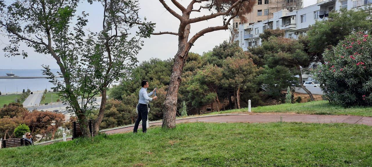 Bakıda iynəyarpaqlı ağacların qurumasının səbəbləri araşdırılır